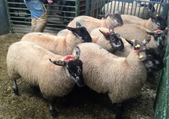 'Sheep farmers being turned away from factory gates' – ICSA chairman