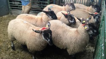 Countdown is on to 56th Borris Ewe Breeders' show and sale
