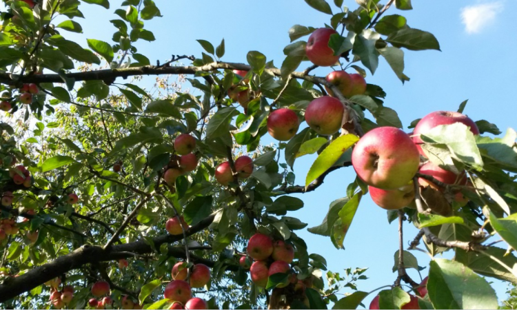 How many tonnes of apples does the Irish cider sector buy?