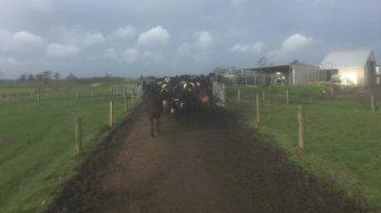 Milking 670 cows in the Waikato region in New Zealand