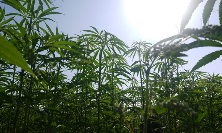 UK's largest hemp farm forced to destroy crop
