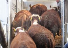 Beef price increases 'just about keeping pace' with UK boosts
