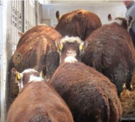 Beef trade: Keep the ball moving, as quotes rise again