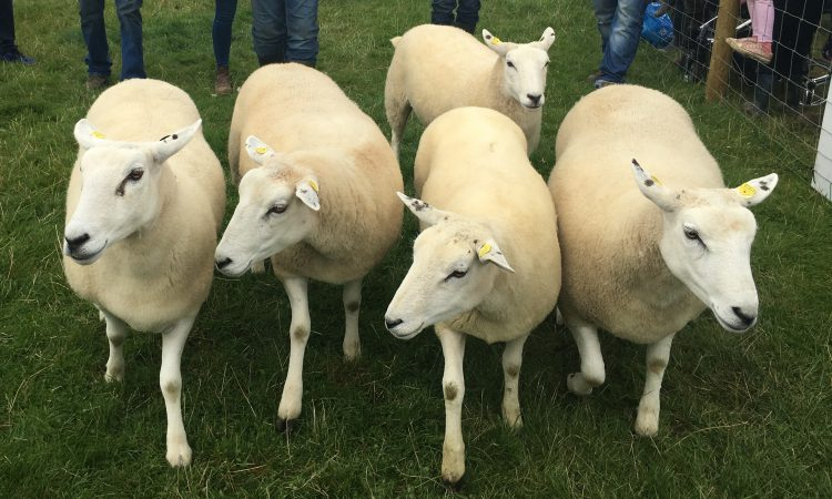 Tullamore Show: Who were the big winners in the sheep section?