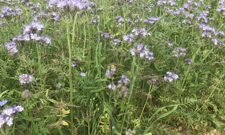 Cover crops: What to sow?