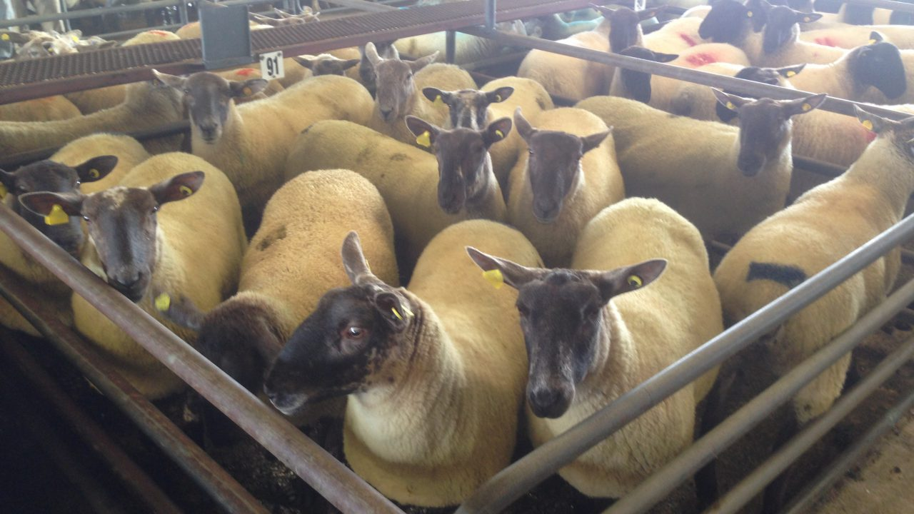 First marts approved to read electronic sheep tags; find out which…