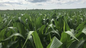 Drought resistant corn could mean an increase in supply