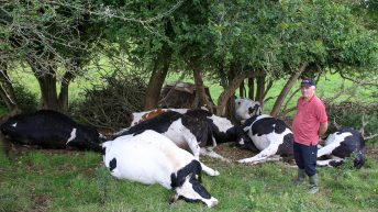 8 in-calf heifers killed by lightning in Co. Offaly