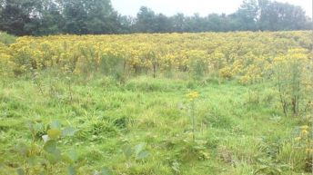 Recent humid weather has led to 'a proliferation of ragwort'