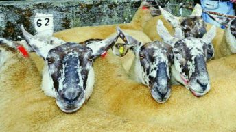 Borris Ewe Breeders' show and sale: 'One of the best sales we've seen in over 10 years'
