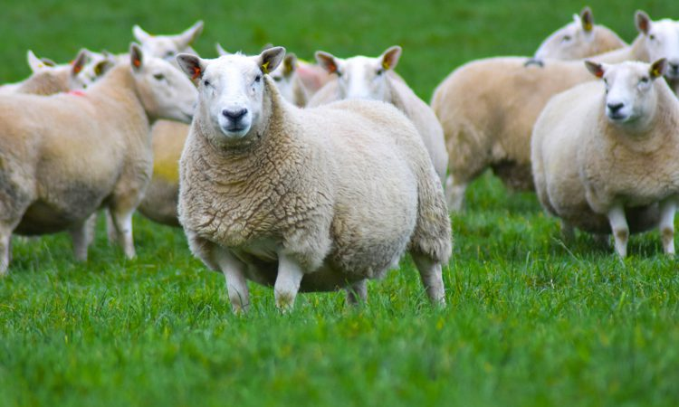 New Donegal Cheviot sheep group formed