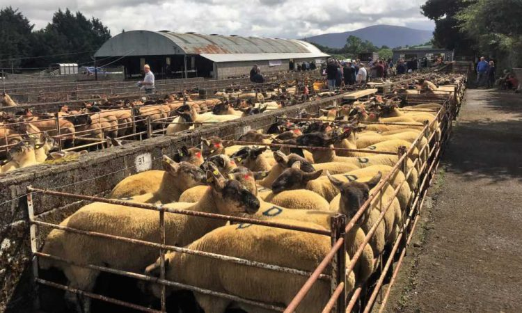 Borris Ewe Breeders set to hold 56th annual show and sale