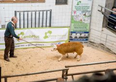 Sheep Ireland set to host its Lamb-Plus Elite €uro-Star Multi-Breed Ram Sale