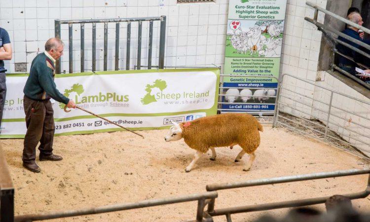 Sheep Ireland set to host its Lamb-Plus Elite €uro-Star Multi-Breed Ram Sale
