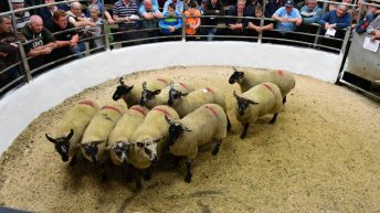 Tullow show and sale: Ewe-lamb trade 'exceeds expectations'