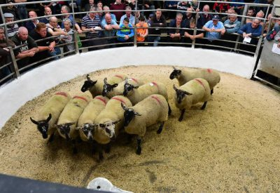 Sheep - Sheep Farming - Agriland ie