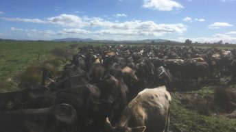 Finishing off a busy calving season in the Waikato region of New Zealand