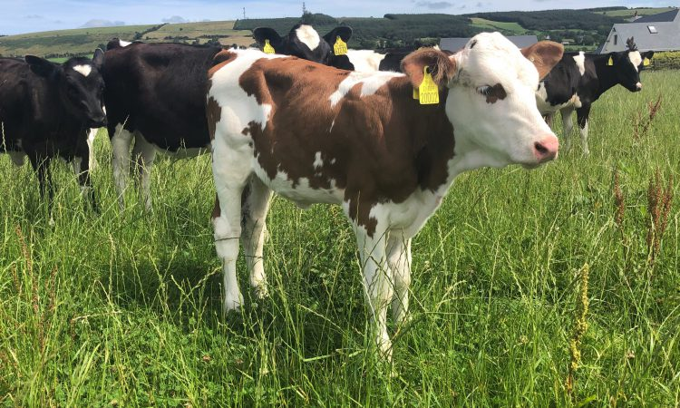 Next government to look into 'dual-purpose' cattle breeds