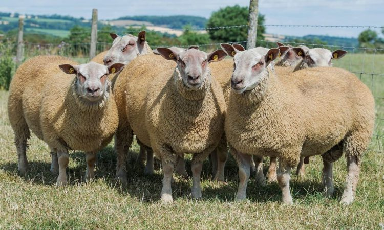 Irish Charollais Sheep Society set to host its pedigree ram sale