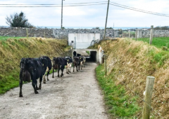 Can mineral supplementation reduce the incidence of lameness in a dairy herd?