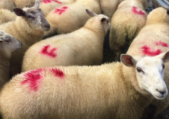 Farmers facing 'severe penalties' on heavier lambs – IFA