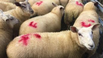Sheep trade: Kill down nearly 4,000 head, while ewe and ram throughput increases