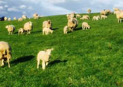 'Strong Government action needed to secure sheep sector' – Healy