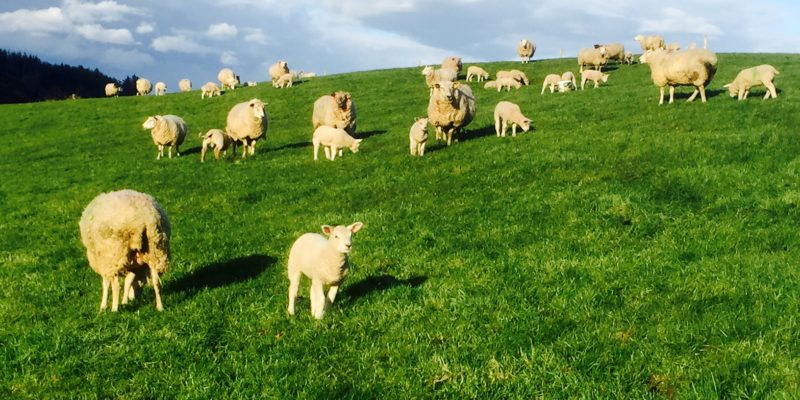 Sheep farmers 'very angry at income erosion' – IFA