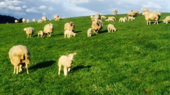 'Sheep farmers have been continuously excluded' from compensation – ICSA