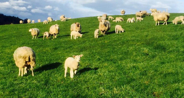 €14.7 million in Sheep Welfare Scheme payments to begin