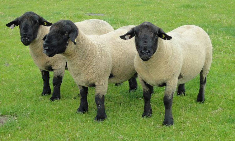 Suffolk Sheep Society to hold Premier Show and Sale with 200 pedigree sheep on offer
