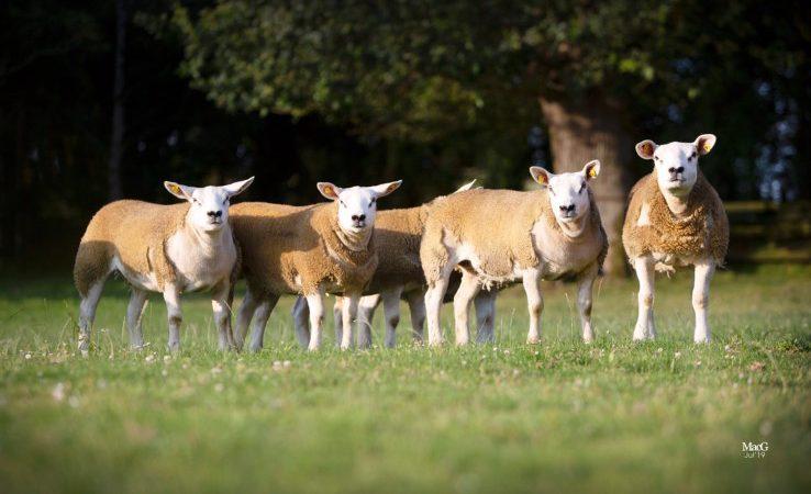 Irish Texel Sheep Society set to host main sale this week