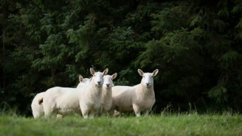 Wicklow Cheviot Sheep Breeders getting ready for the upcoming show season