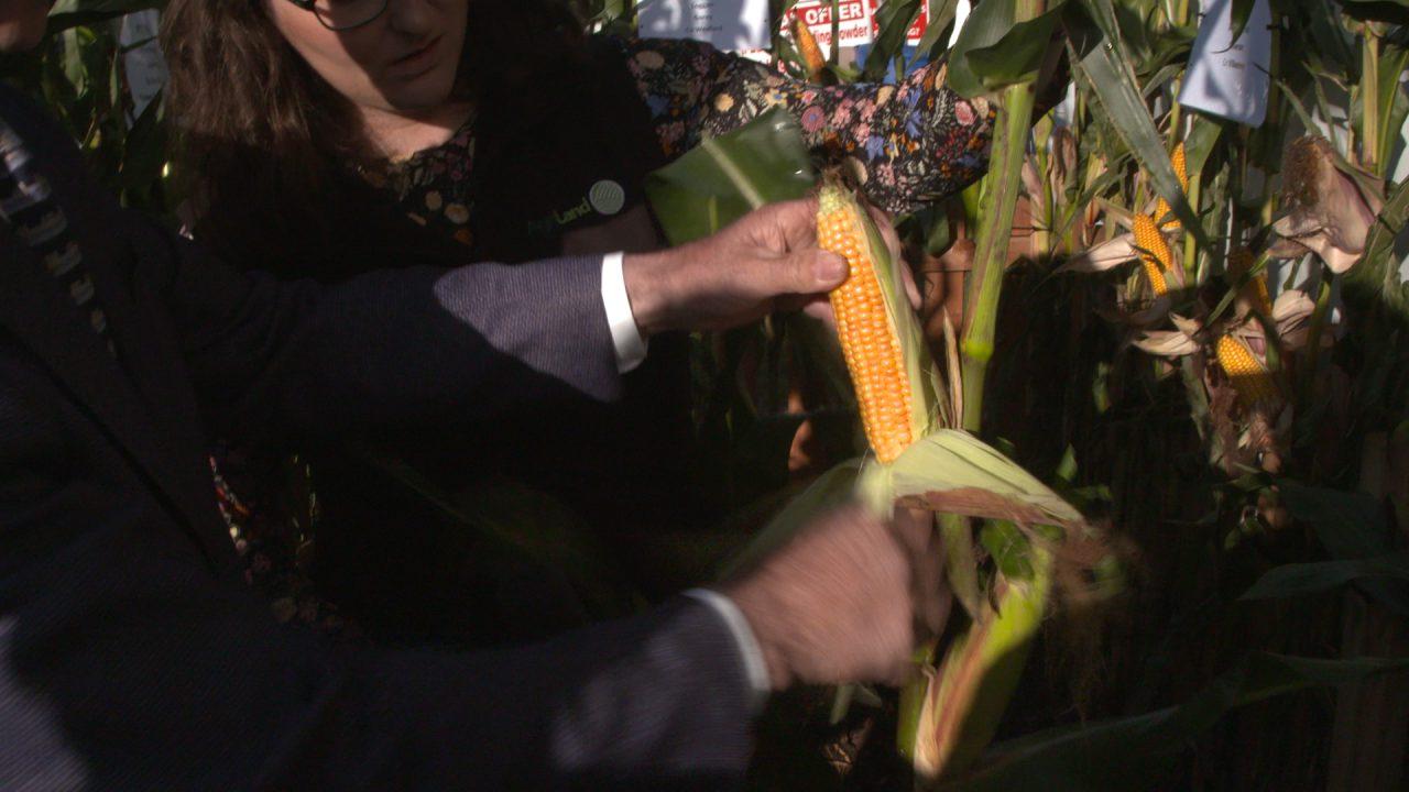 Rain delays harvest…is your maize crop ready?
