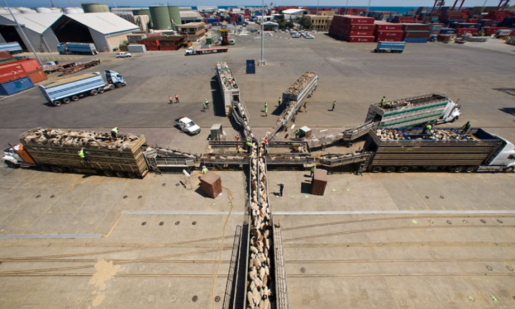 Video: 56,000 sheep loaded on ship bound for Middle East