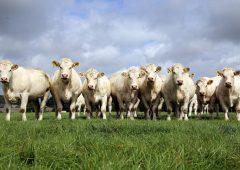 Beef focus: Bidding farewell to the famous Skidoo Charolais pedigree herd