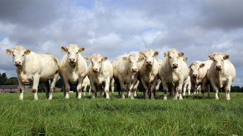 Beef focus: Bidding farewell to the famous Skidoo Charolais pedigree herd