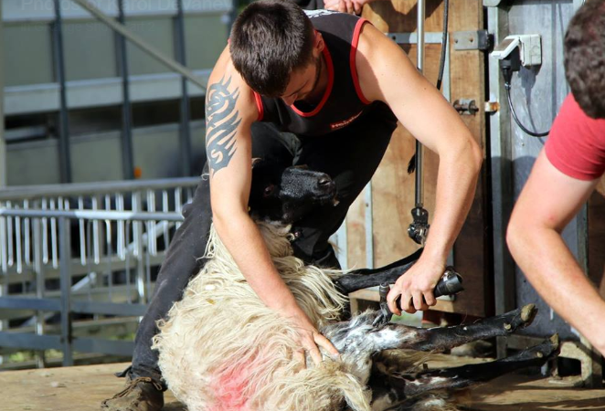 Flying to the other side of the world to master the sheep shearing trade