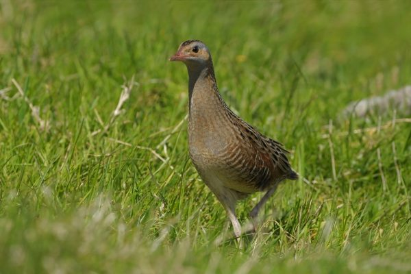 'Donegal is the national stronghold for corncrake'