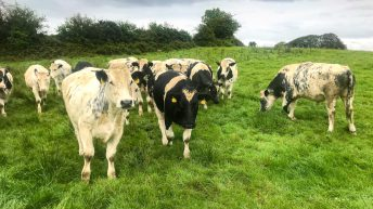 Transitioning from selling stores to a beef-finishing system in Co. Clare