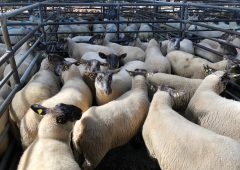 Sheep marts: Prices for factory-fit lambs ease by €2-3/head on last week