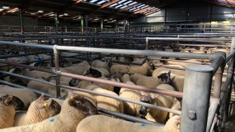 Sheep marts: Farmers looking to store lambs to graze grass rather than cattle