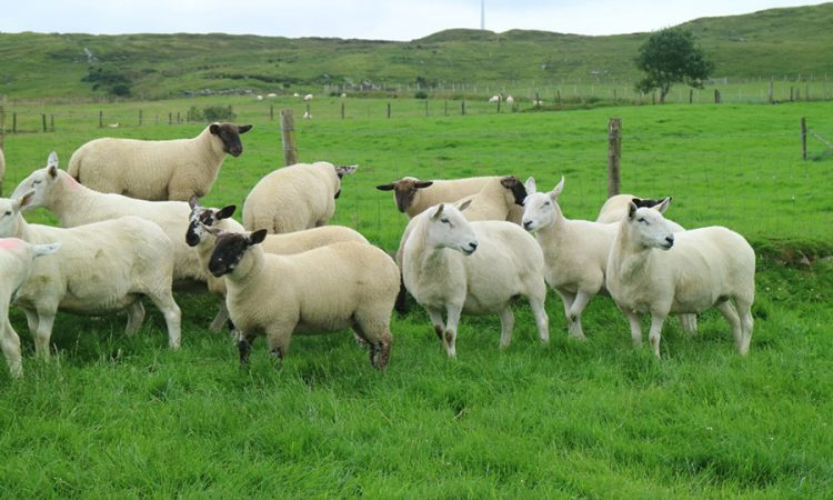 Donegal Cheviot sheep group set to host first show and sale