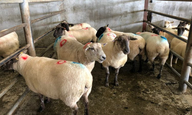 Sheep trade: Factories continue to work through backlog of lambs