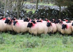 The Mayo Blackface Group is set to host its annual show and sale