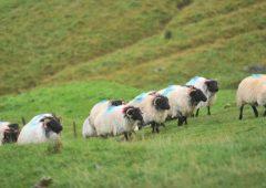 NIO建议在英国购买绵羊的农民转售