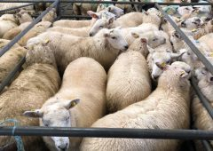 Pics and prices: Hoggets in demand at Mountbellew Sheep Mart