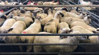 Sheep trade: No major change in base quotes this week