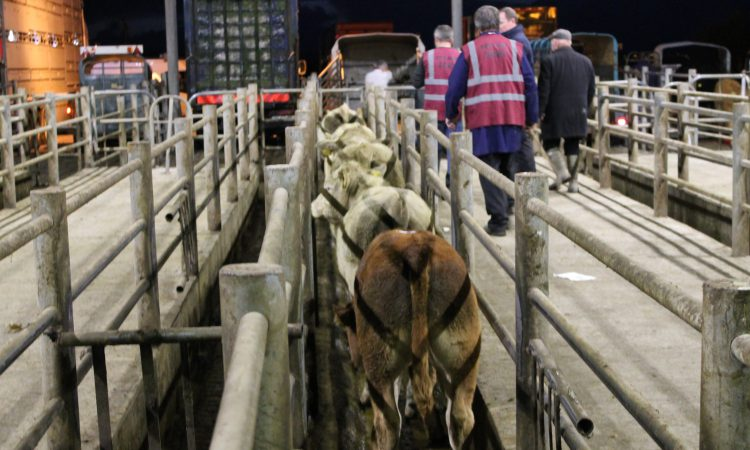 Pics and prices: Exporters drive the trade for weanling bulls at Gort Mart