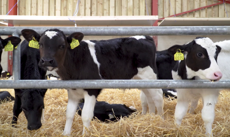 What are dairy bull calves worth now, based on current beef prices?